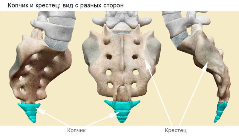 Анатомиярудиментарного хвоста